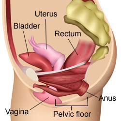 Where are Pelvic Floor Muscles ? How to Feel Pelvic Floor Muscles
