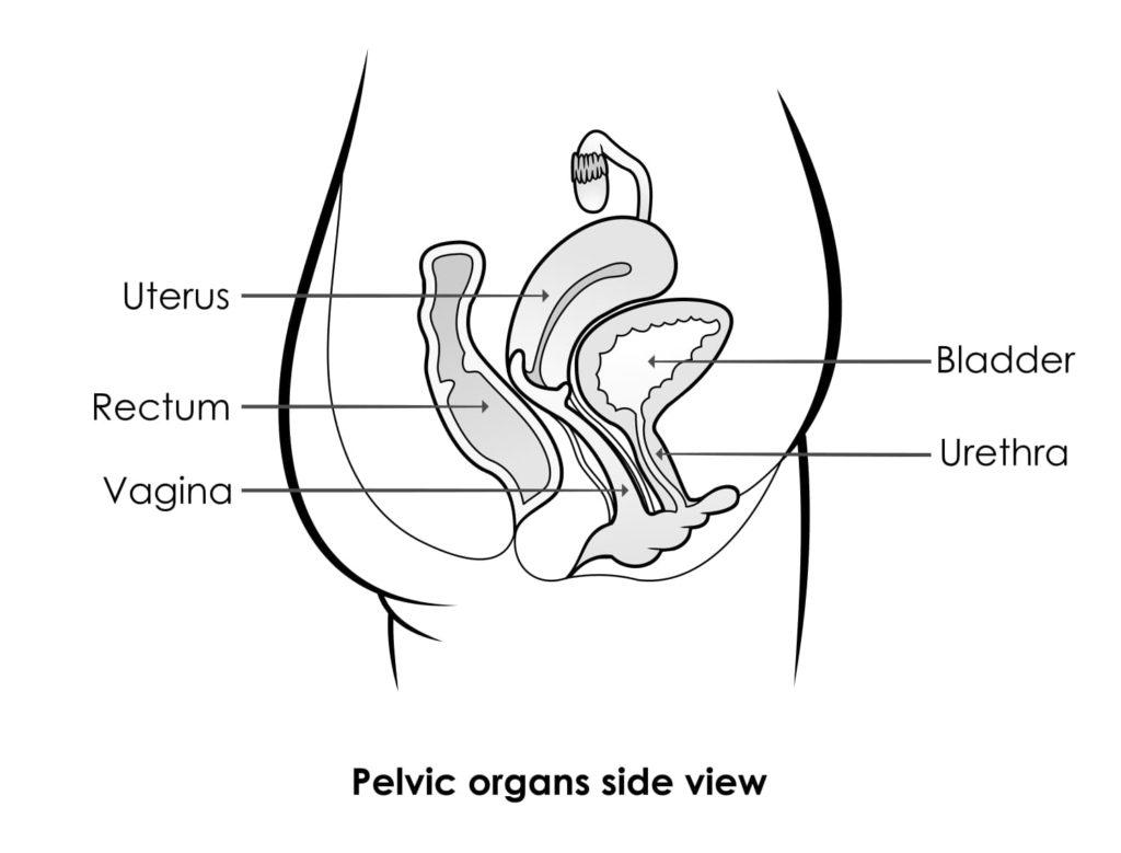Pelvic Organs