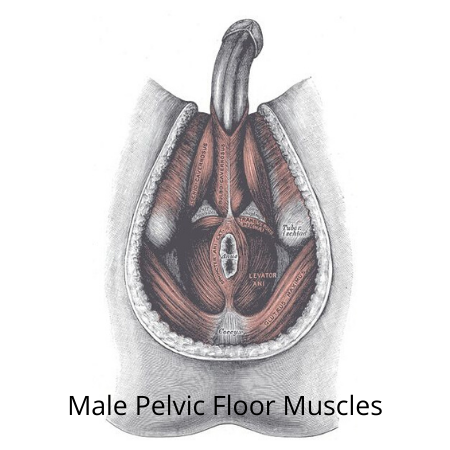 Male Pelvic Floor Muscles